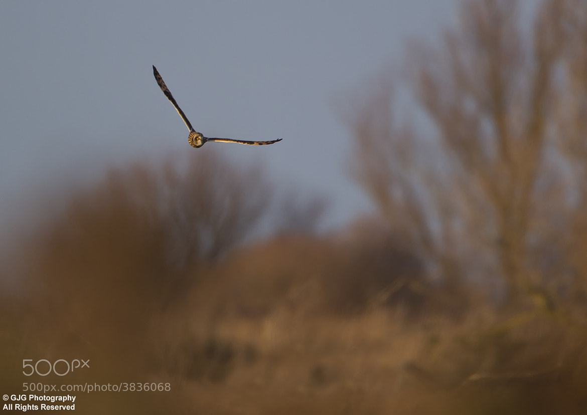 Photograph Short Eared Owl by Graham Goddard on 500px