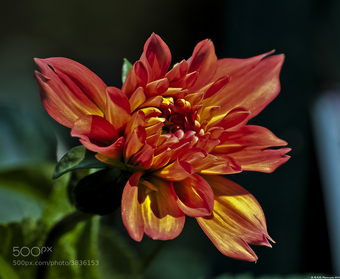 Photograph HDR Dahlia  by Harold Begun on 500px