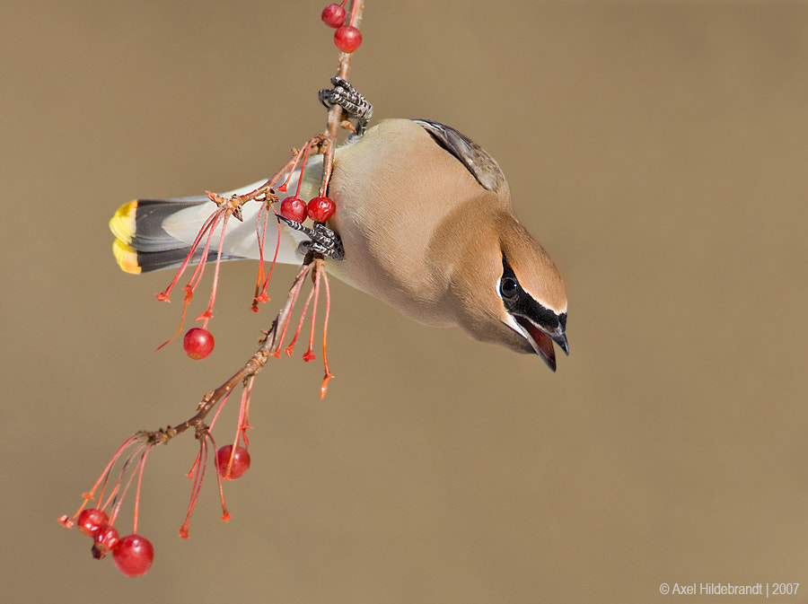 Photograph Cedar Waxwing by Axel Hildebrandt on 500px