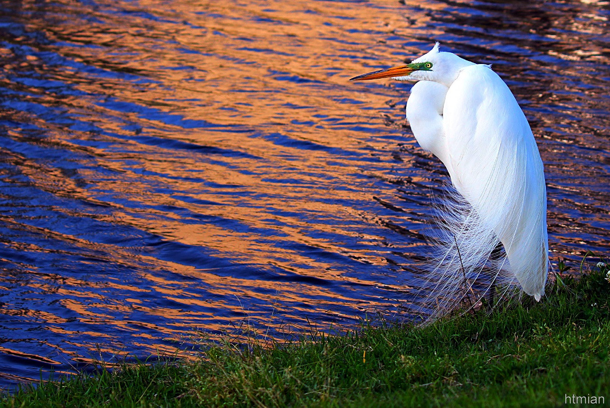 Photograph Great Egret by htmian on 500px