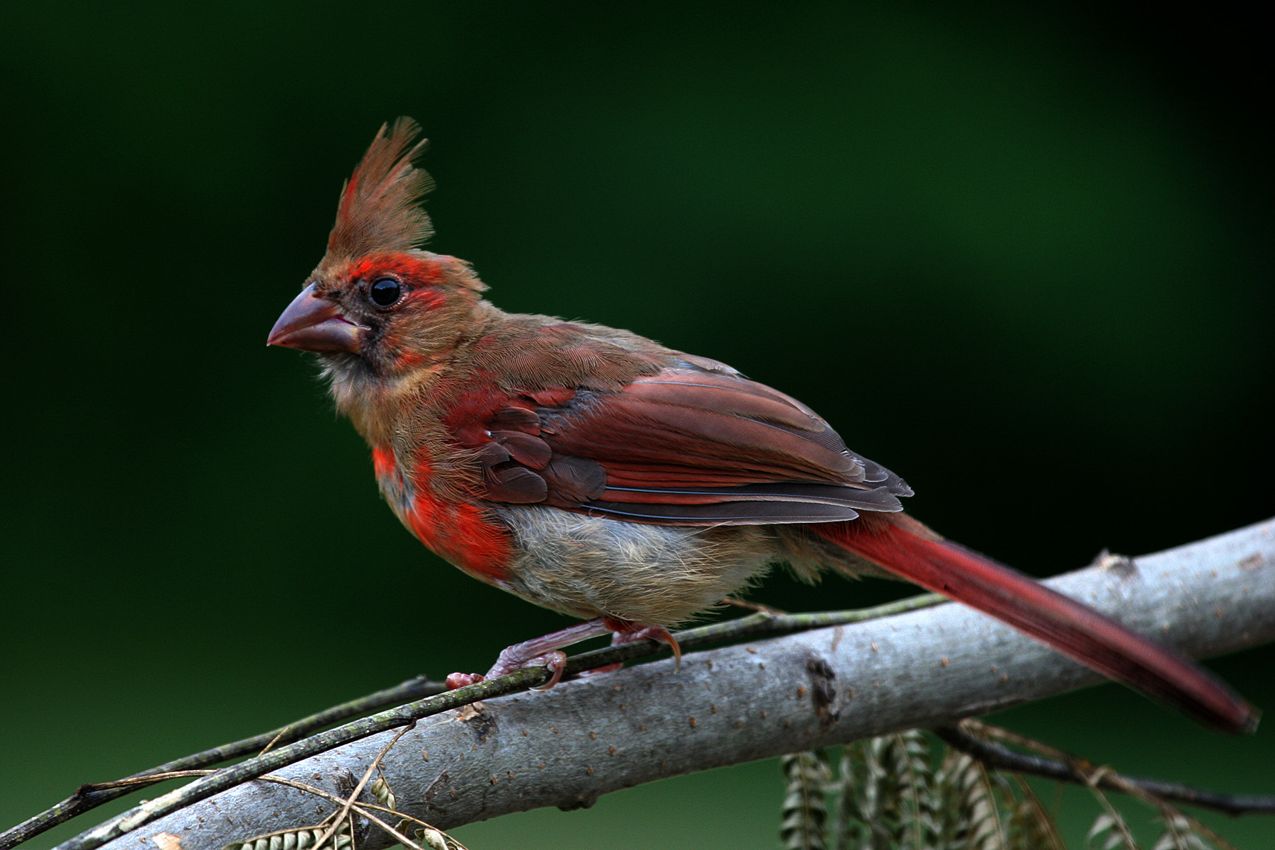 Photograph Juvenile Northern Cardinal by Rusty Wood on 500px