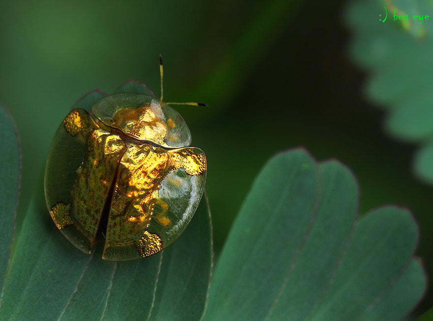 Photograph Golden Beetle by bug eye :) on 500px