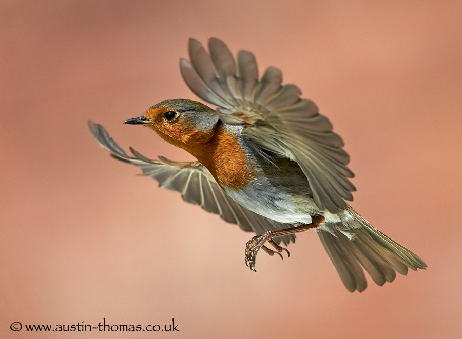 A Robin in flight..