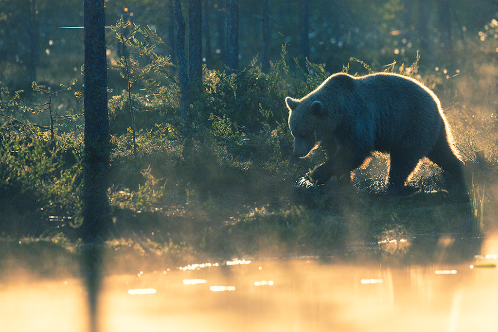 Photograph Bear at the sunrise by Chris Lab on 500px