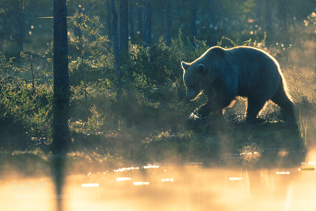 Photograph Bear at the sunrise by Krzysztof Labanowski on 500px