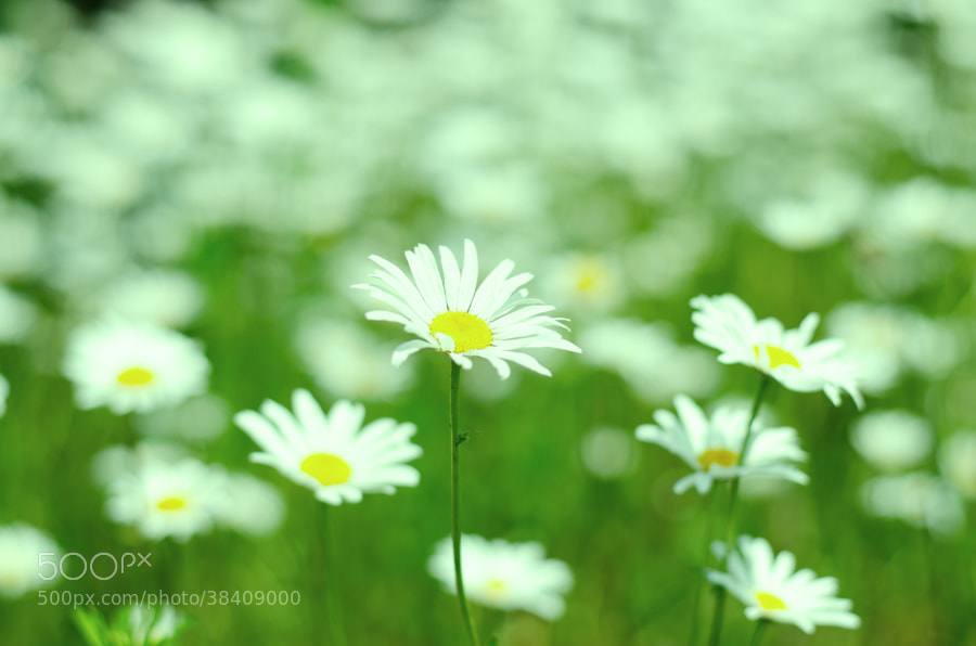 Photograph marguerite by Gunter Werner on 500px