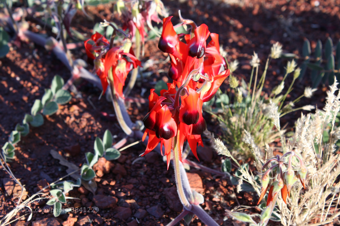 Photograph Sturt Desert Pea by shannon hopper on 500px