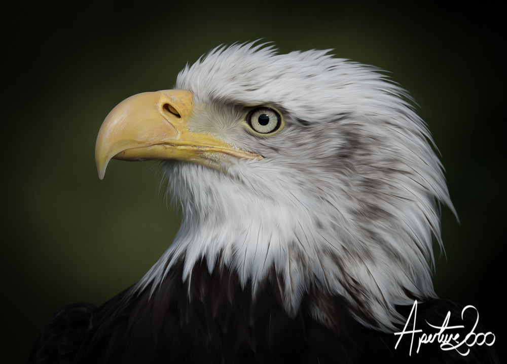 Photograph Bald Eagle by Colin Carter on 500px
