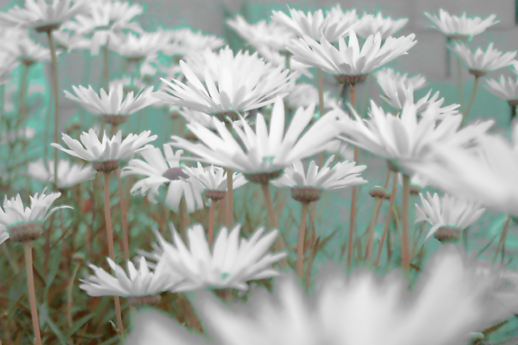 Photograph daisy by Rossella Sferlazzo on 500px