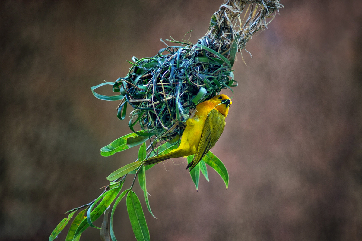 Photograph Golden weaver by Itoodmuk  on 500px