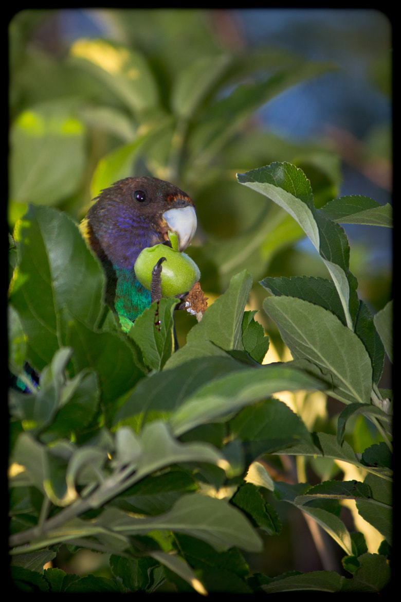 Photograph Australian Ringneck Parrot munching by Peter Knol on 500px