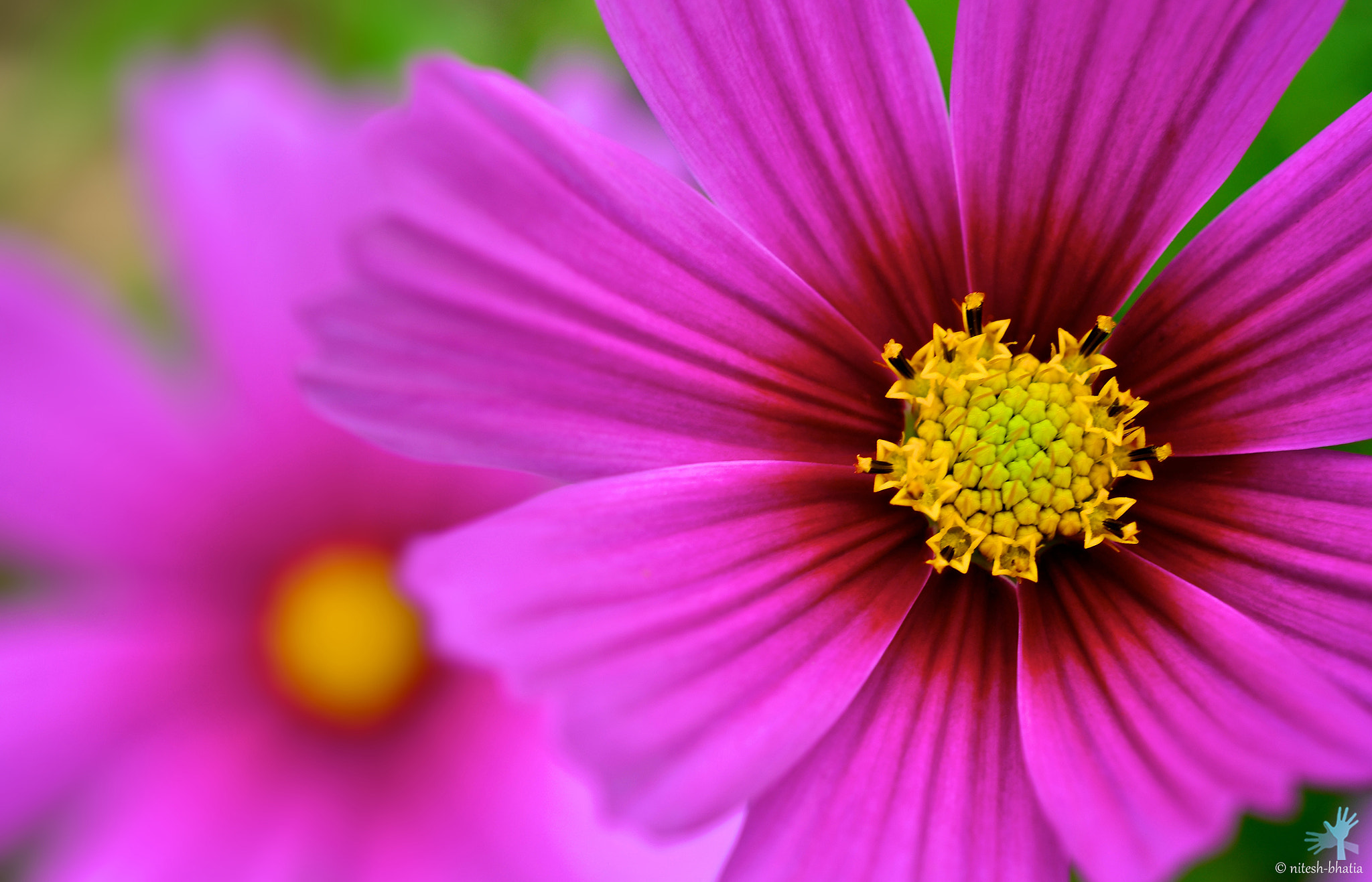 Photograph Pink Cosmos by Nitesh Bhatia on 500px