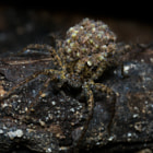 A female Wolf spider (Lycosidae spec.) with her youngsters on her back. This picture must be pure horror for some.