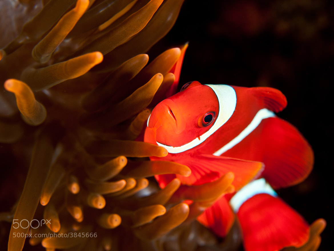 Photograph Spinecheek anemonefish by Pash Baker on 500px