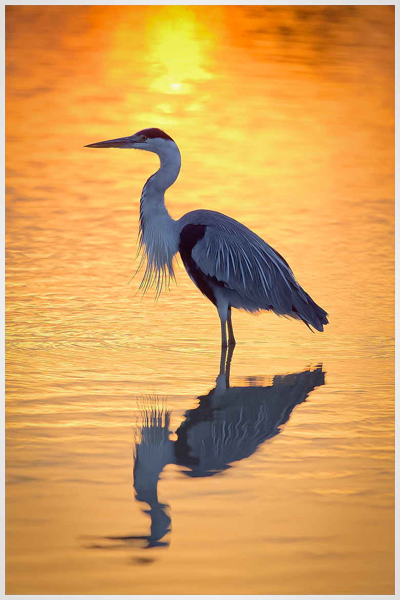 Photograph Heron Sundown in Camargue by Gianni Del Bianco on 500px