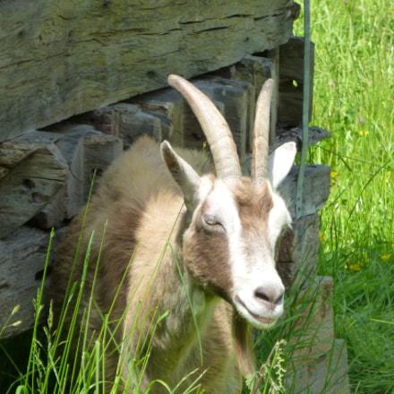 Hessenpark - Farmer´s Goat