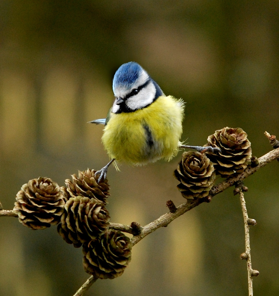 Photograph Blue Tit on larch cones by John Robinson on 500px