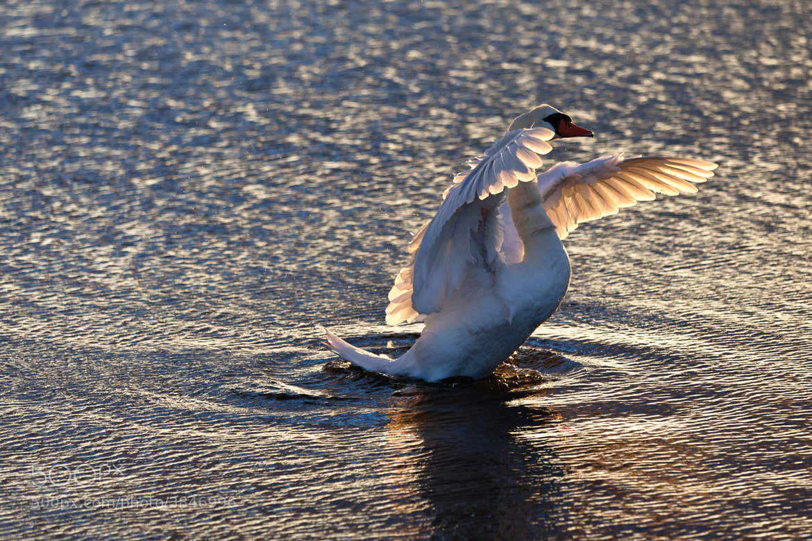 Photograph The swan by Yves Vernin on 500px