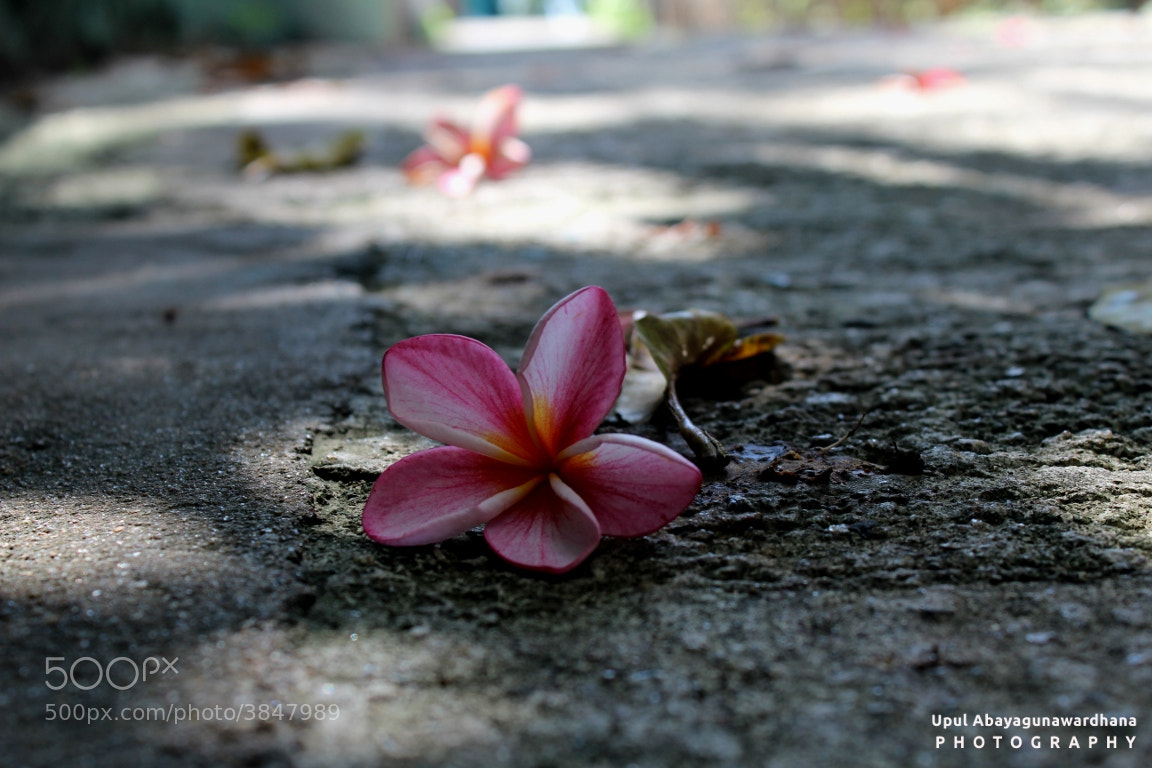 Photograph Plumeria by Upul Abayagunawardhana on 500px