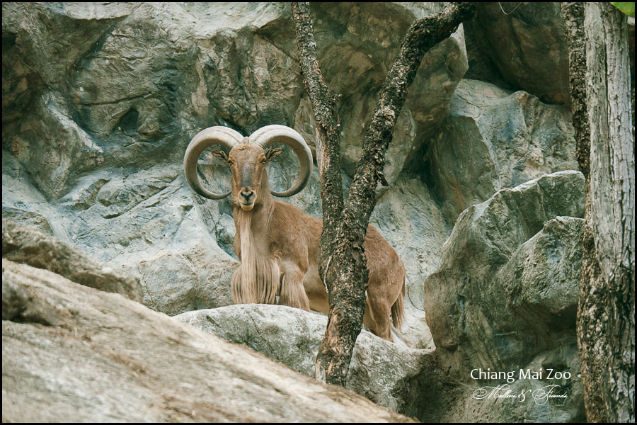 Photograph Mountain Goat by Igor M on 500px