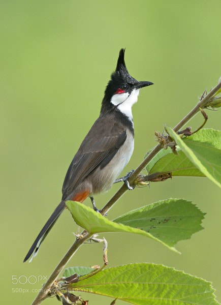 Photograph Red Whiskered Bulbul by Tom Backlund on 500px
