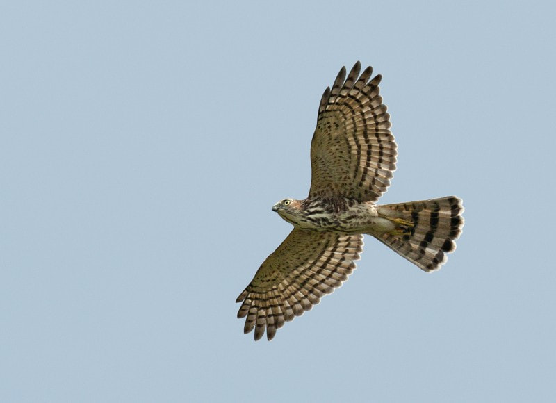 Photograph Shikra by Tom Backlund on 500px