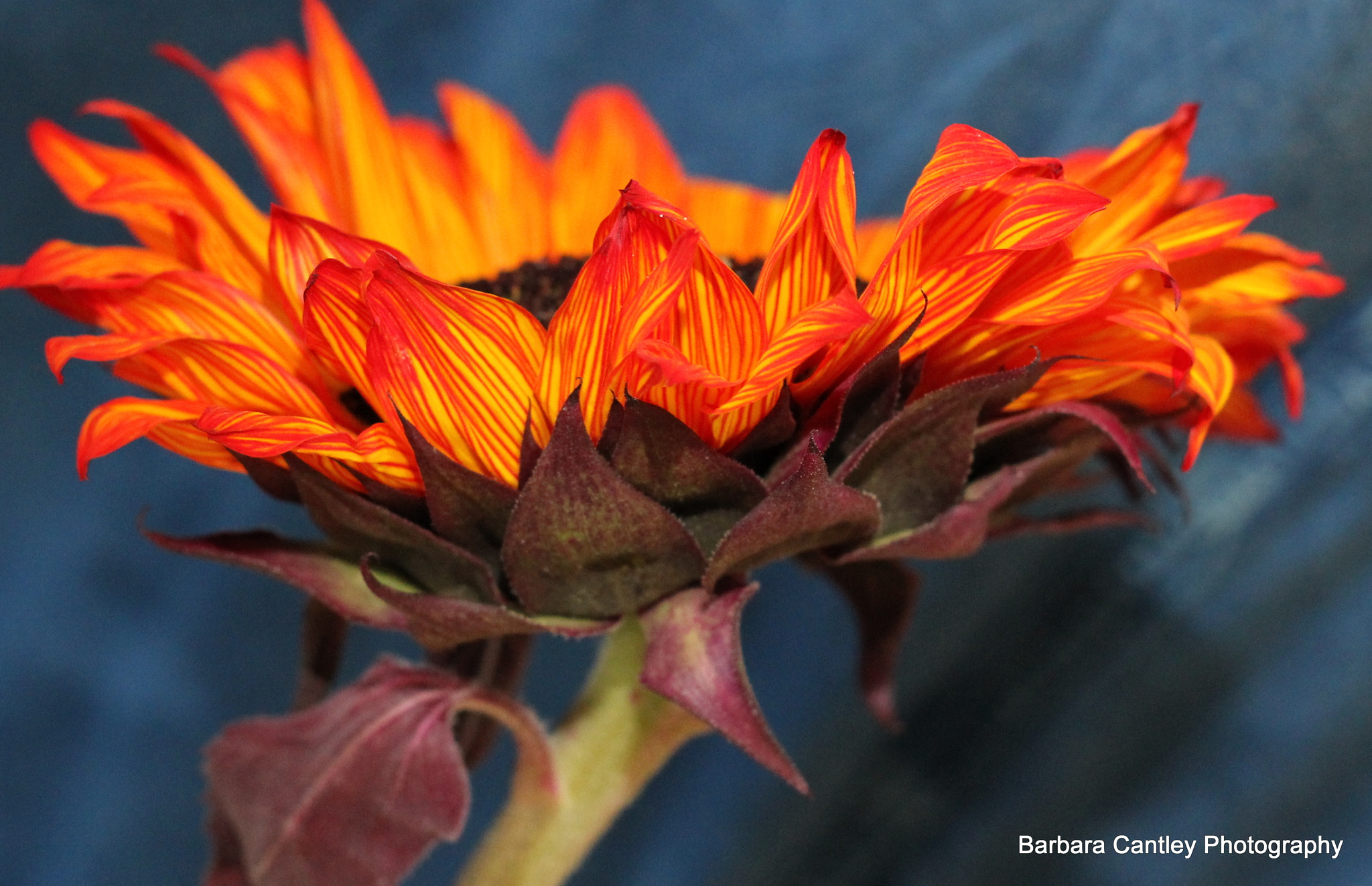 Photograph Sunflower  by Barbara Cantley on 500px