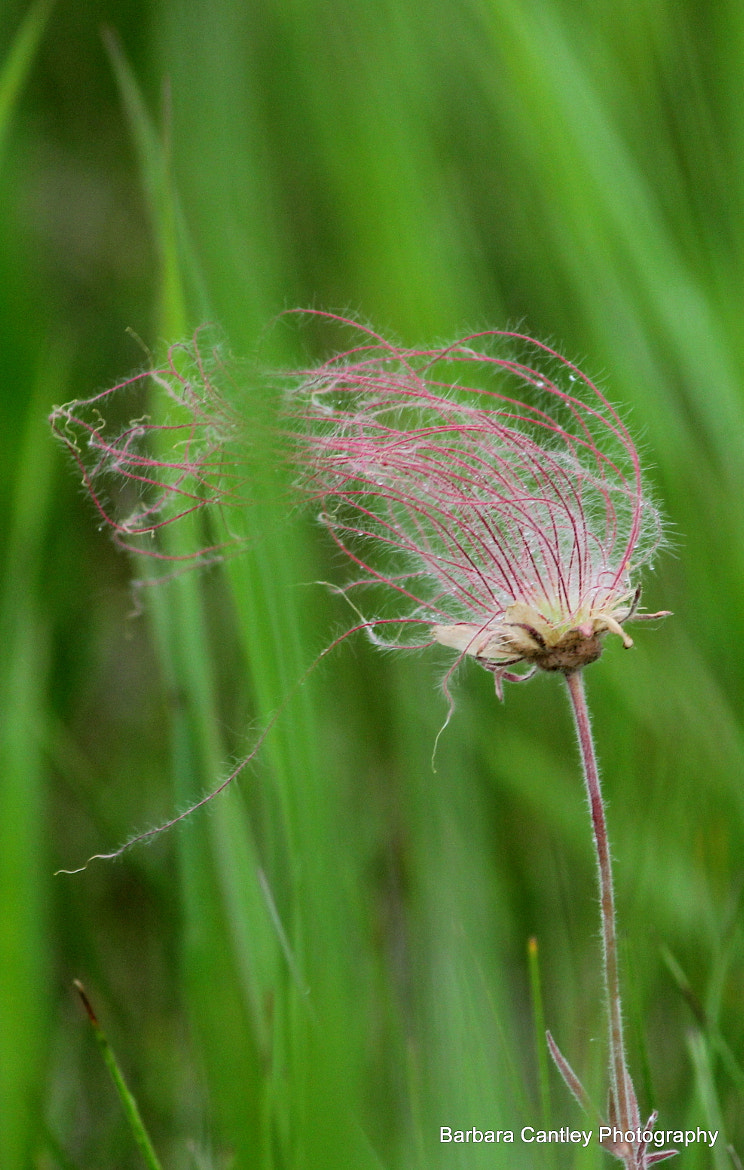 Photograph Avens Wild by Barbara Cantley on 500px