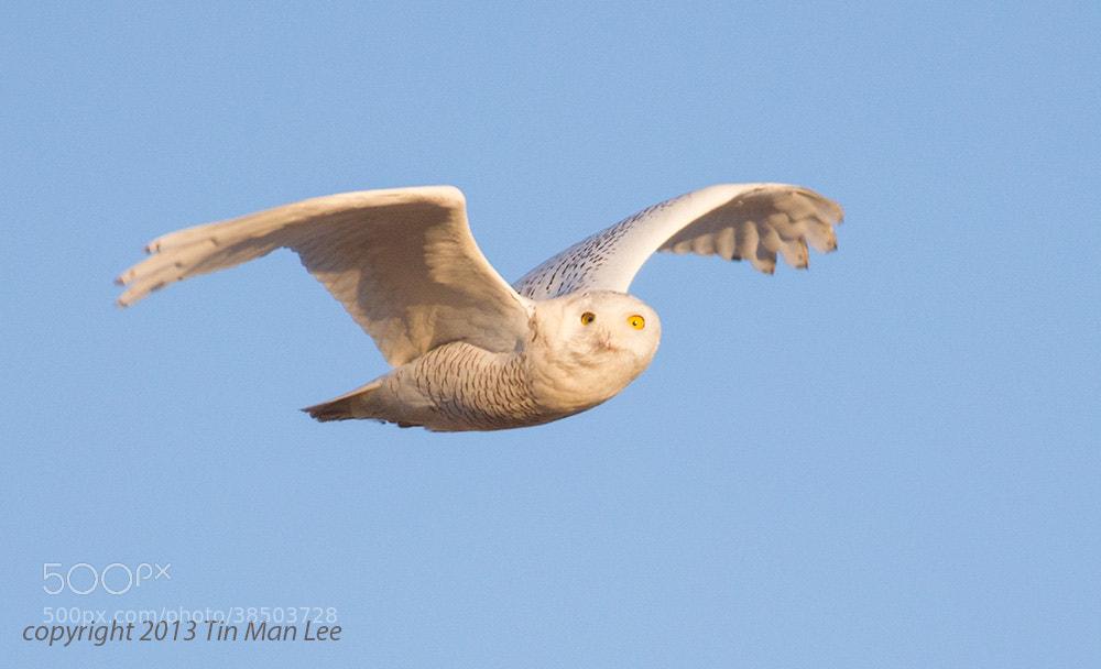 Photograph Snowy Owl Head Tu by Tin Man on 500px
