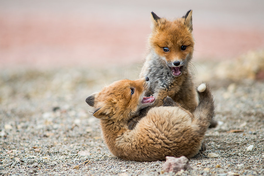 Photograph fox game by Ivan Kislov on 500px