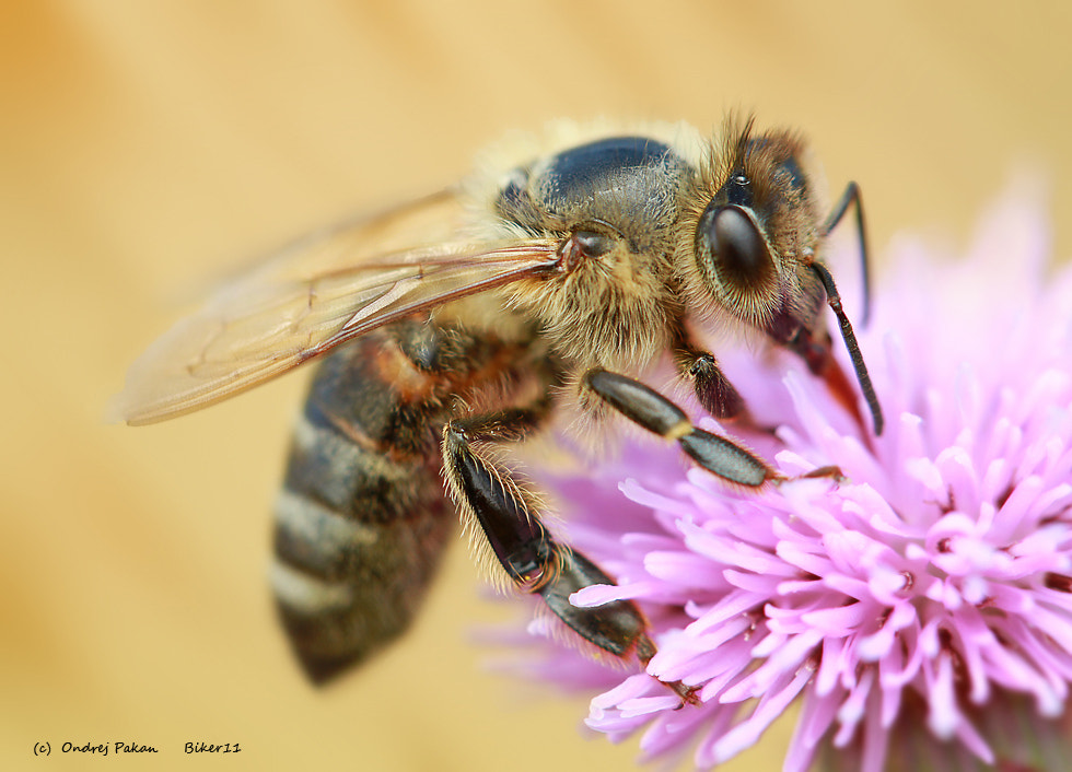 Photograph Bee by Ondrej Pakan on 500px