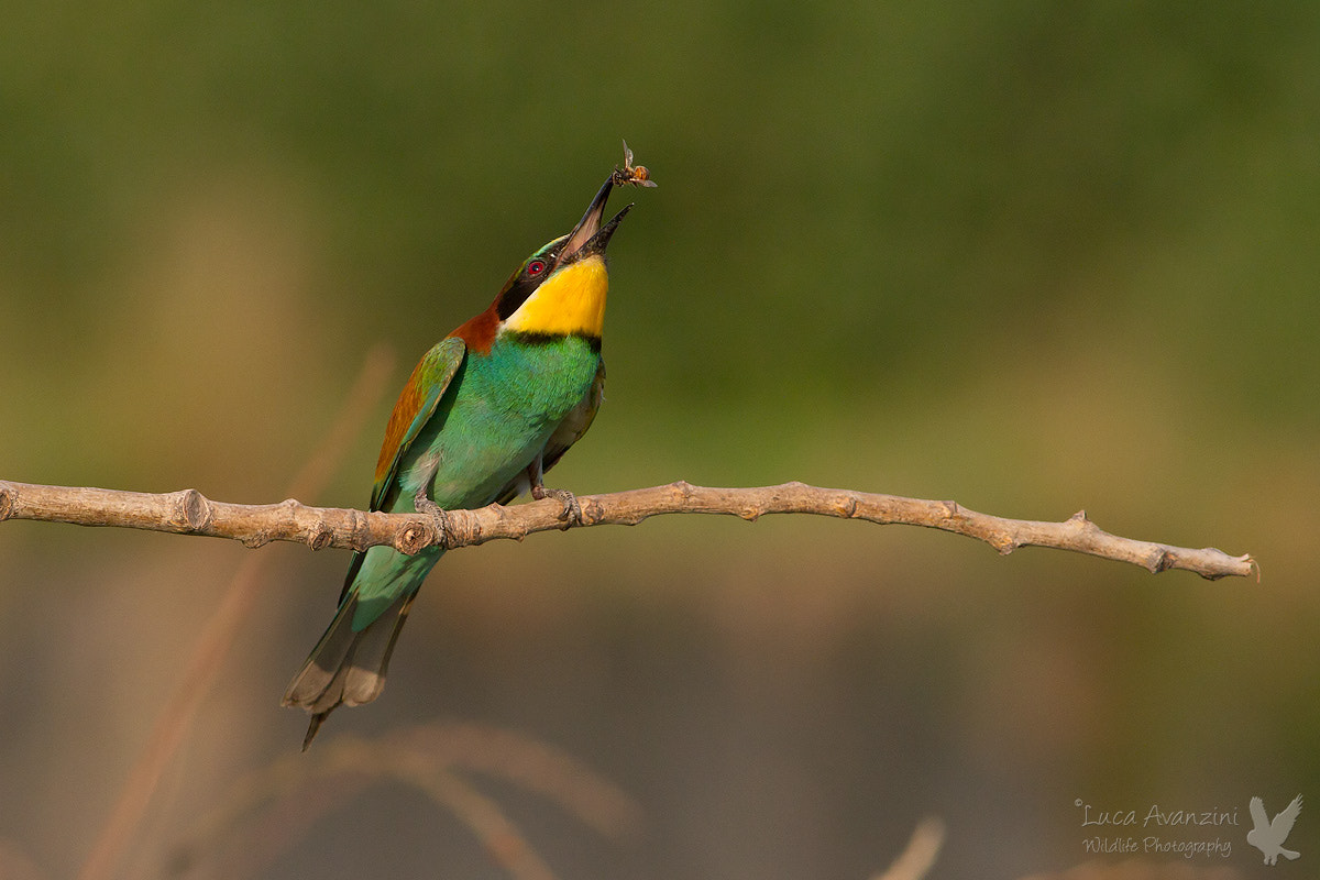Photograph bee-eater & bee by Luca Avanzini on 500px