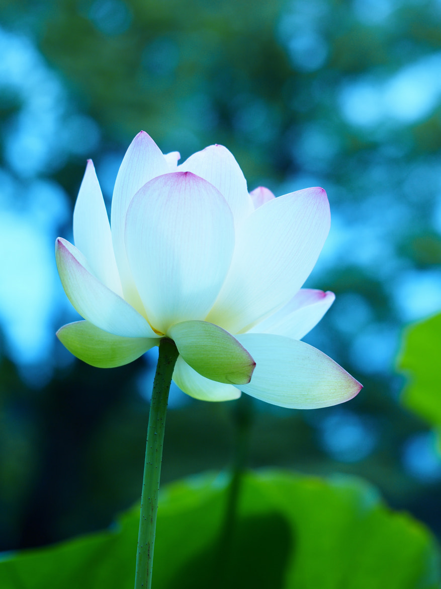 Photograph Lotus flower by Yos Kawapon on 500px