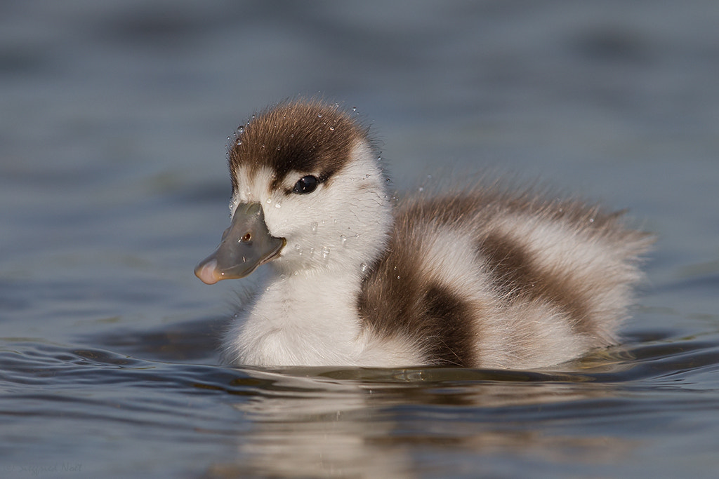 Photograph Drops - Juvenile Common Shelduck by Siegfried Noët on 500px