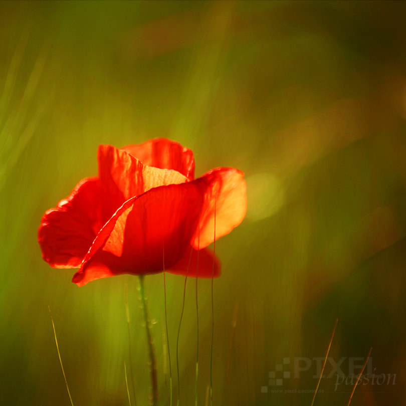 Photograph red poppy by Pixel Passion on 500px