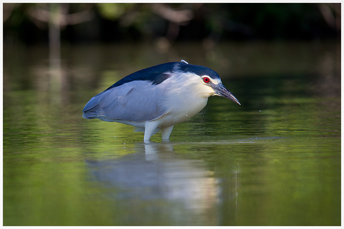 Photograph Night Heron by Gianni Del Bianco on 500px