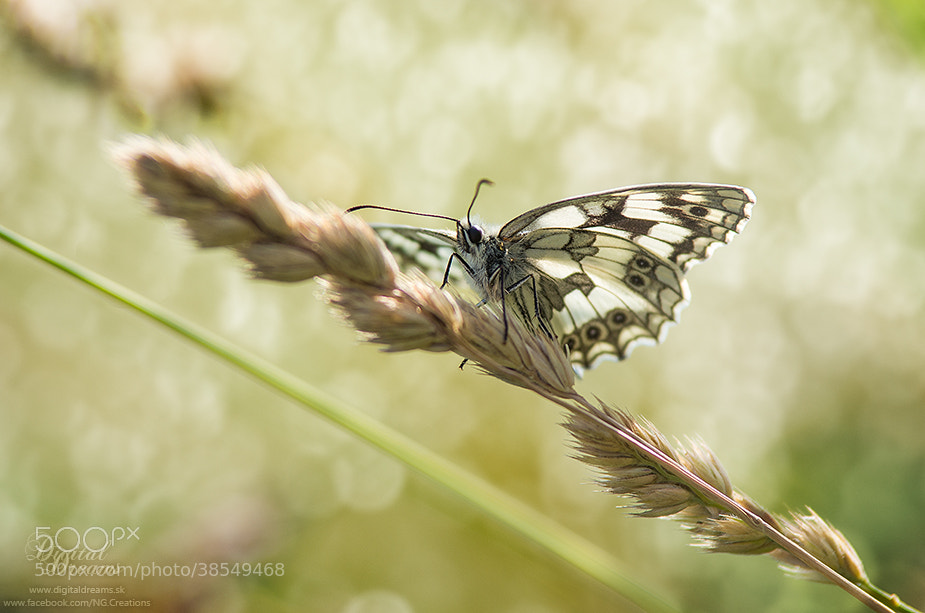 Photograph Melanargia galathea by Norbert G on 500px