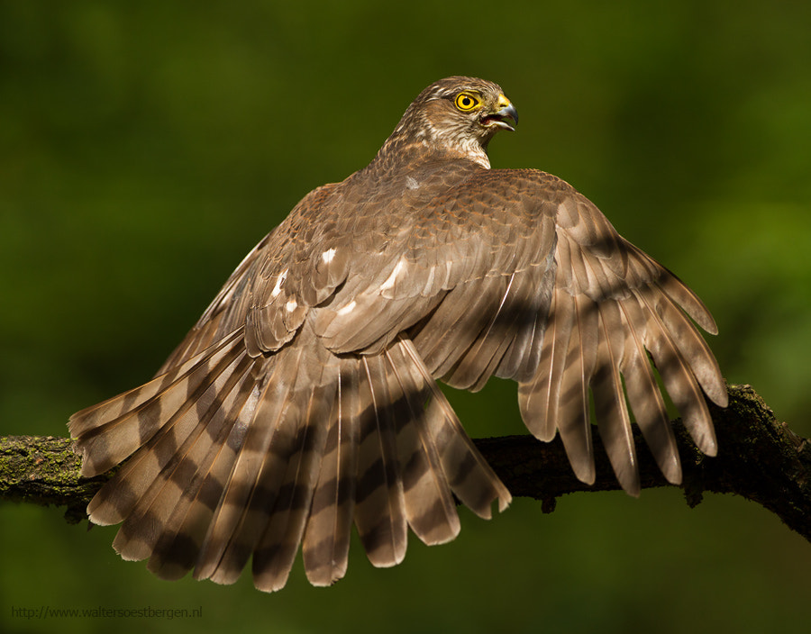 Photograph Eurasian Sparrowhawk Cooling off by Walter Soestbergen on 500px