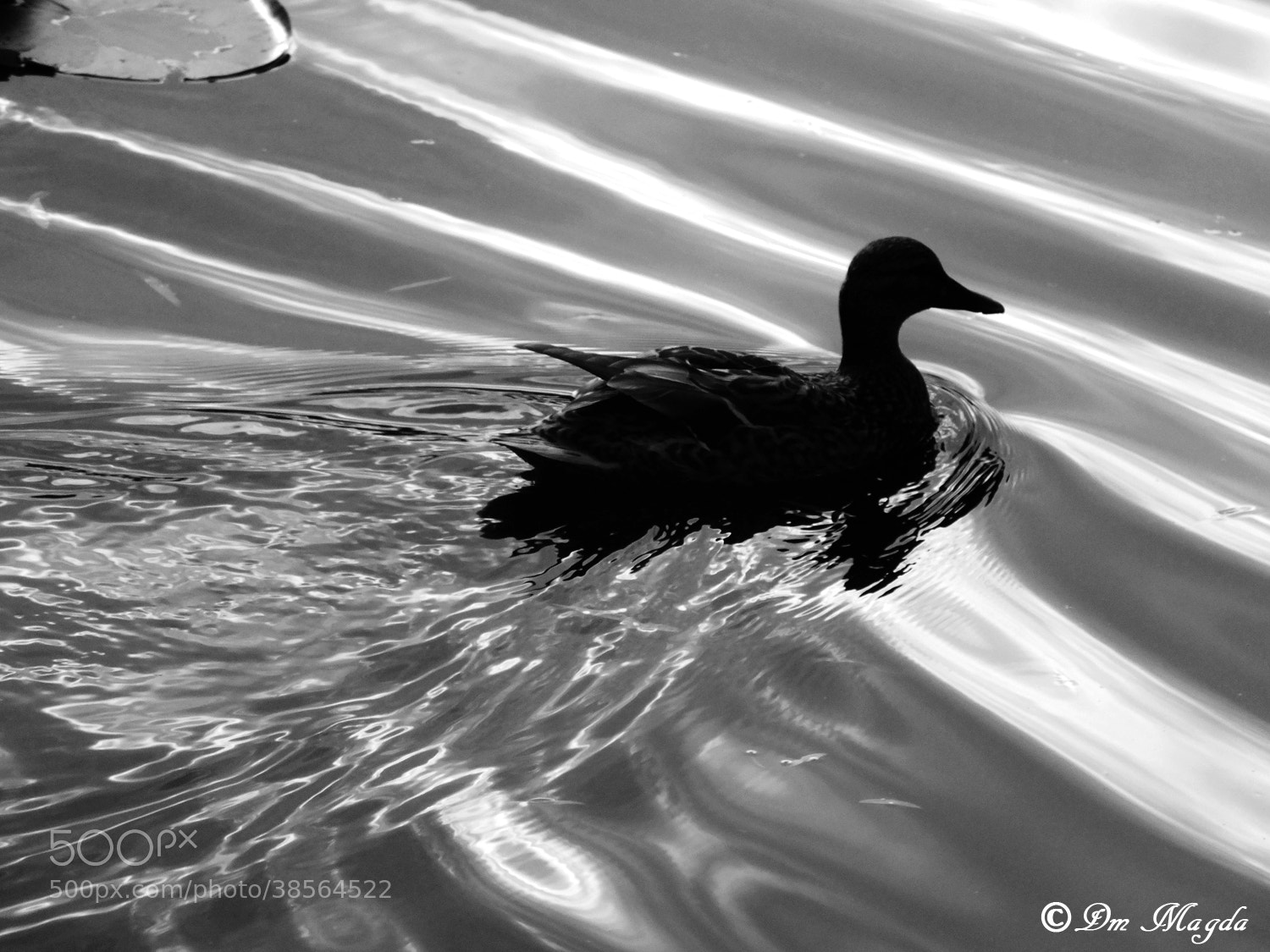 Photograph duck by mada dm on 500px