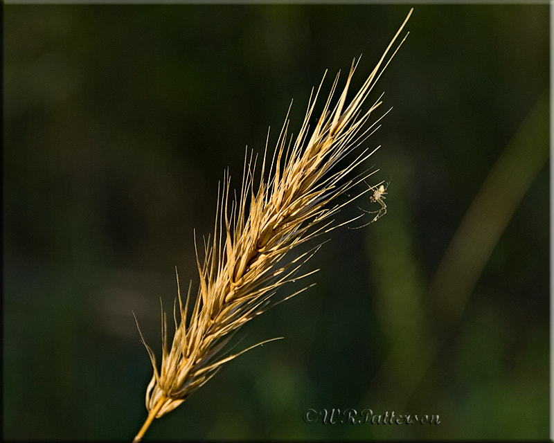 Photograph Spider and Wheat by Wales Patterson on 500px