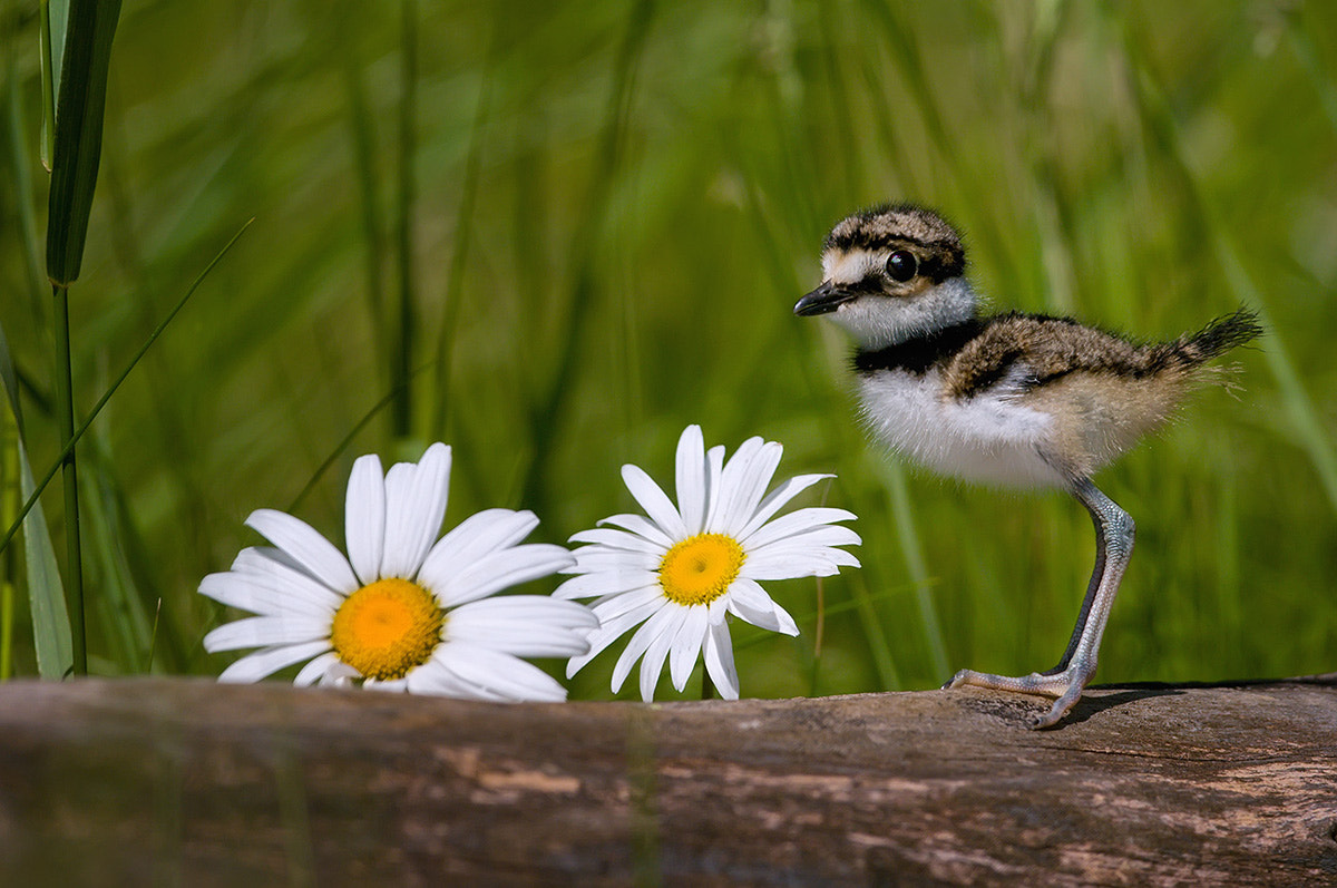 Photograph Killdeer (baby) by Mike  Lentz on 500px