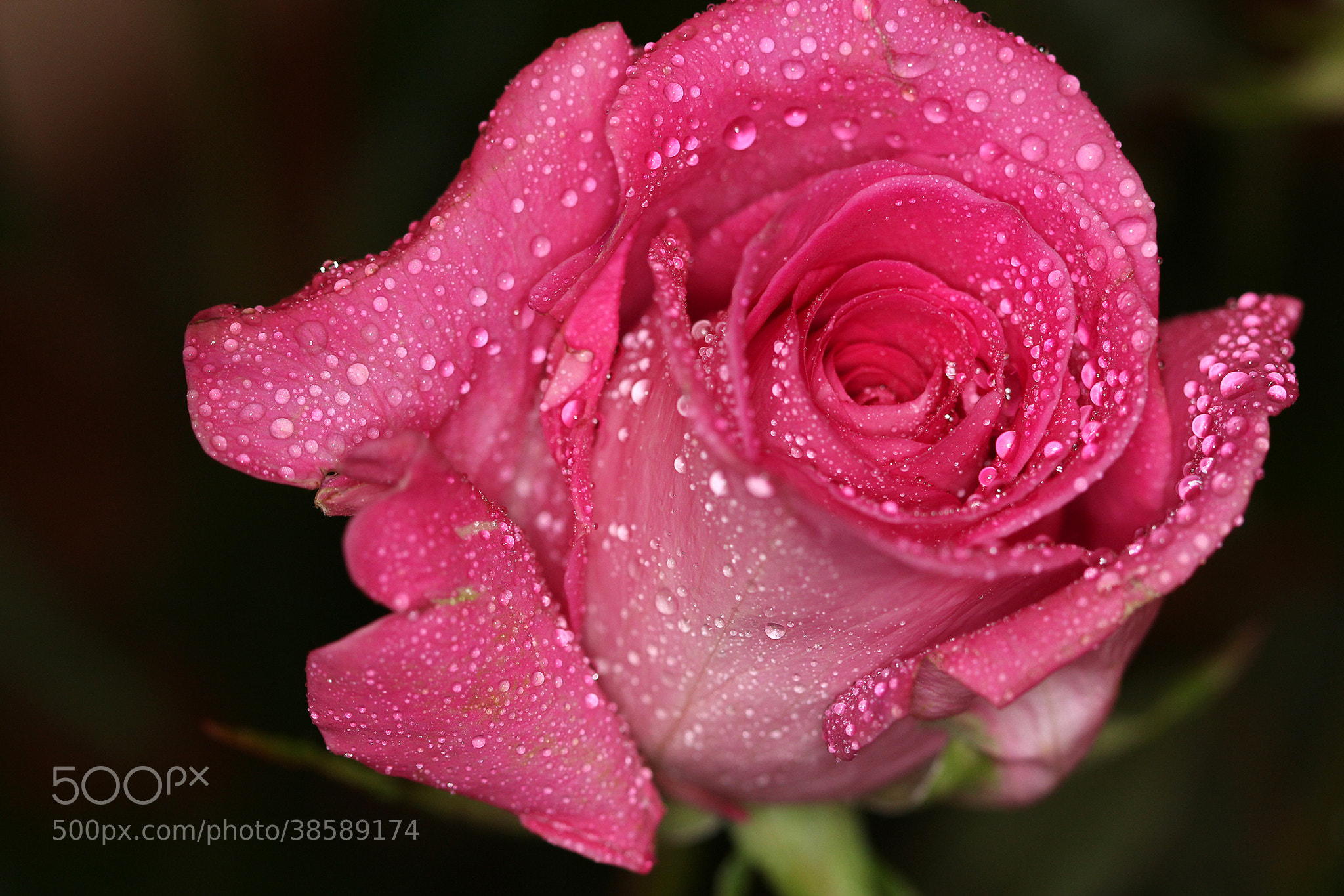 Photograph Rose 3882 by Michele Wambaugh on 500px