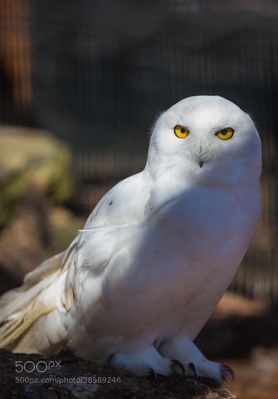 Photograph Snowy Owl (Nyctea scandiaca) by Scott Nelson on 500px
