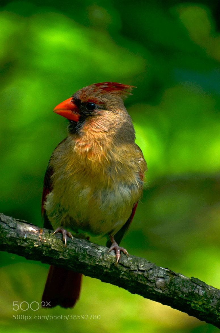 Photograph Northern Cardinal female by Jinny Montpetit on 500px