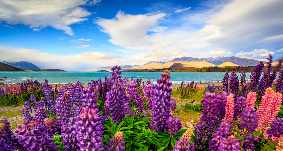 Photograph Lupin by Chef'John  on 500px