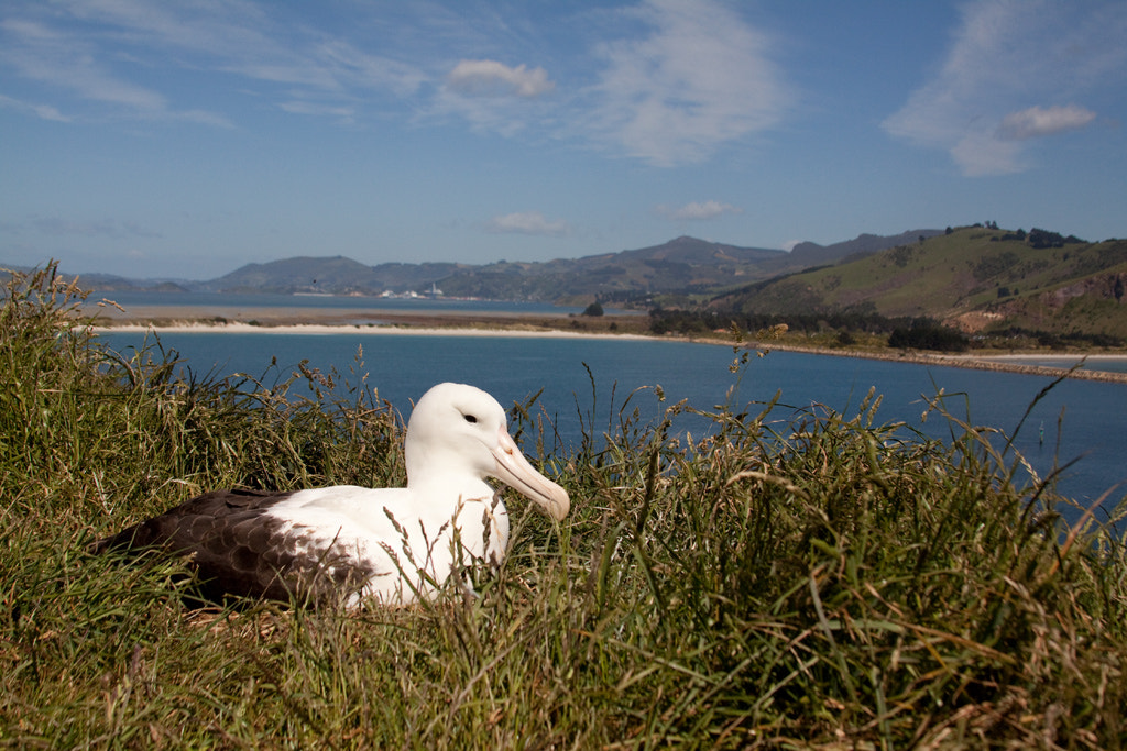 Photograph Northern royal albatross, Taiaroa Head by Paul Sorrell on 500px