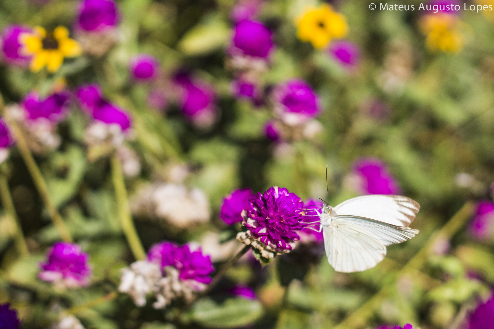 Photograph White Butterfly by Mateus Lopes on 500px