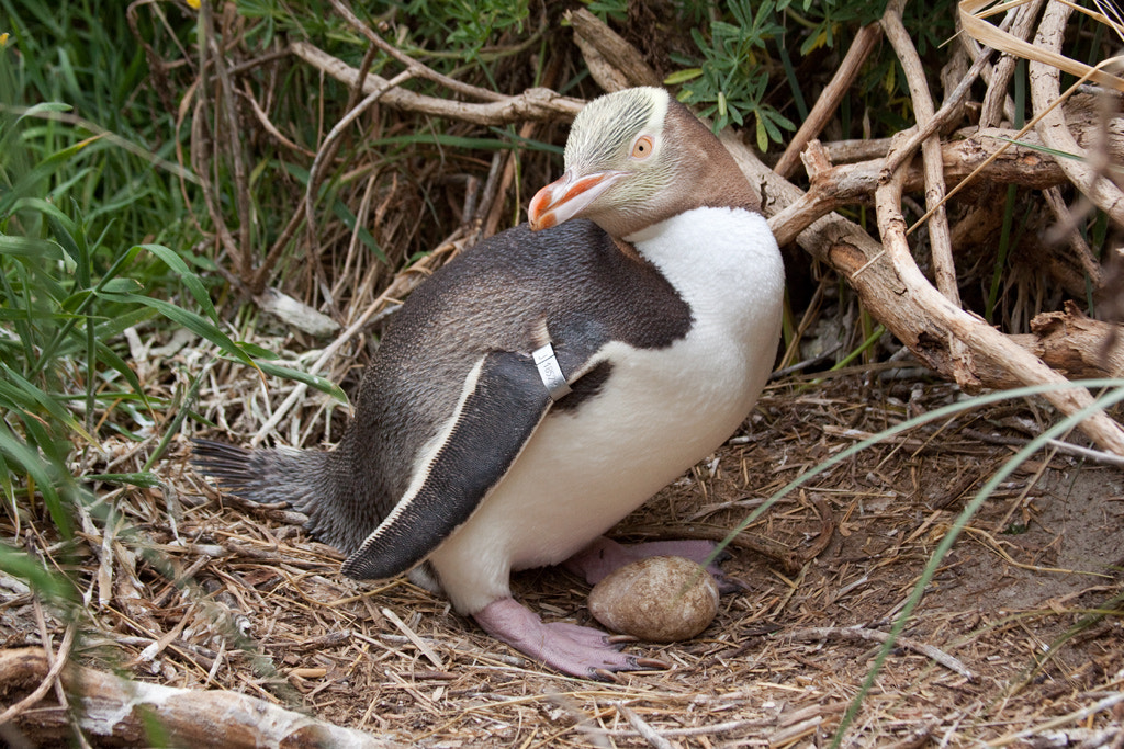 Photograph Yellow-eyed penguin at the nest by Paul Sorrell on 500px