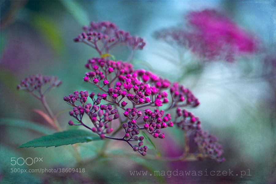 Photograph Spiraea japonica by Magda Wasiczek on 500px