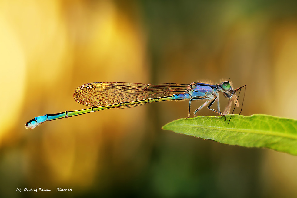 Photograph Dragonfly breakfest by Ondrej Pakan on 500px